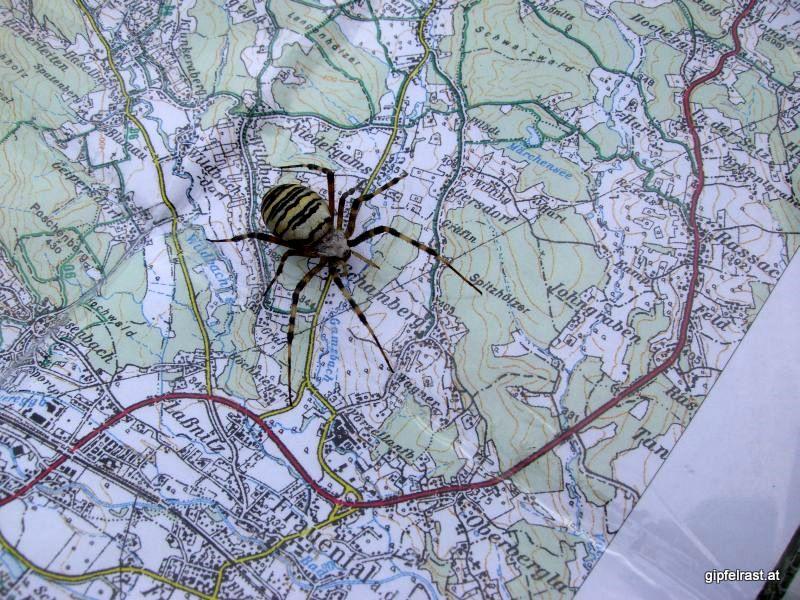 Spinnenangriff in der Weststeiermark
