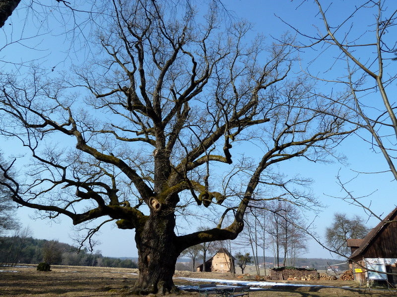 """Die """"1000-Jährige Eiche"""" bei Bierbaum (angeblich 1200 Jahre alt)"""