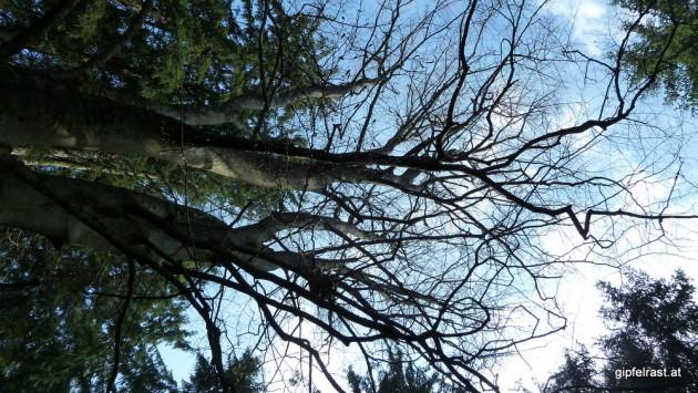 Einsame Buche im Nadelwald