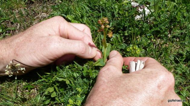 So klein und unscheinbar und doch schon eine Orchidee