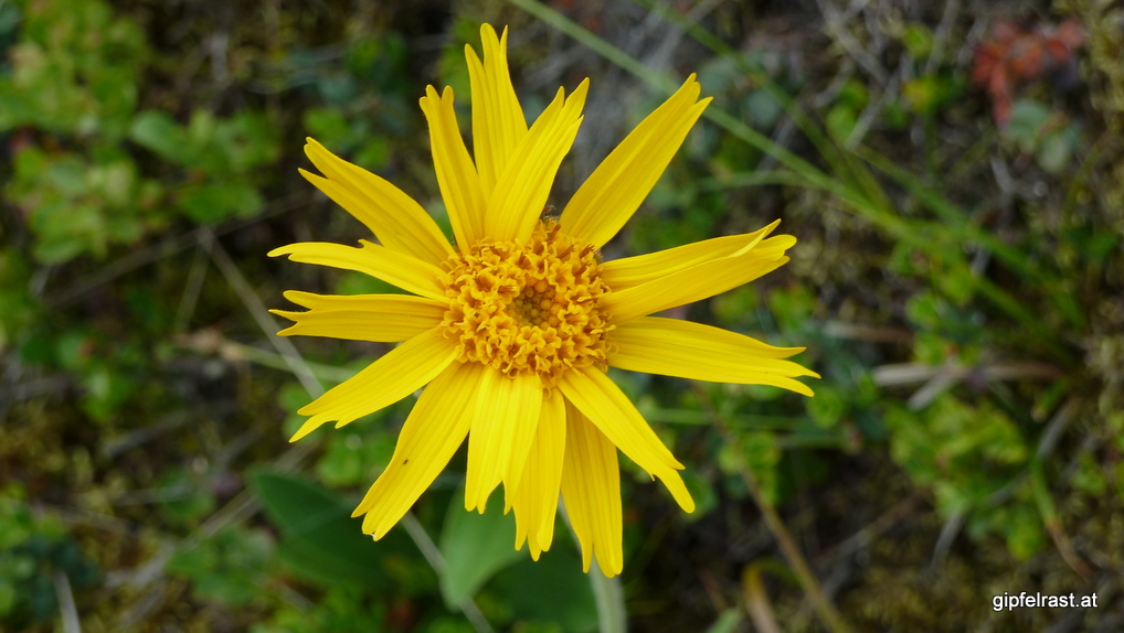 Blüte der geschützten Echten Arnika (Arnica montana)