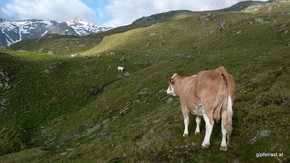 Blick zum Zischgeles (3003m) sowie auf einen Rinderarsch