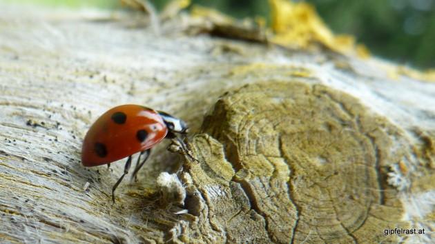 Krabbel, krabbel: Ein Siebenpunkter auf der Flucht vor meiner Kamera