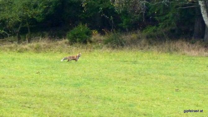 Ein Fuchs entzieht sich beinahe der Kamera