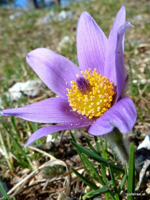 Oft in Büscheln anzutreffen, doch heute geben sich nur zwei Einzelgänger die Ehre: Im April kann man der Steirischen Kuhschelle (Pulsatilla styriaca) beim Erblühen zusehen.