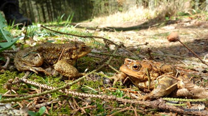 Erdkröten auf Brautschau