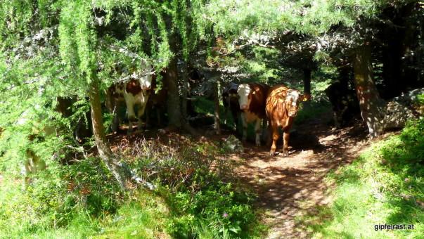 Erst lauern sie im Hinterhalt, dann erweisen sie sich als sehr anhänglich. So sind sie, die Zirbitzkogelkühe...