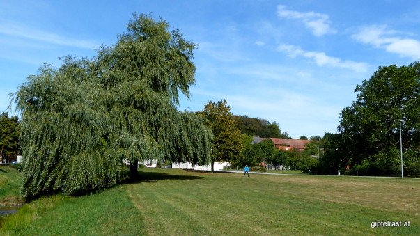 Die große Trauerweide im Zentrum von Willersdorf