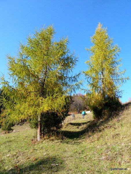 Auch die Lärchen können den Herbst nicht mehr lange leugnen