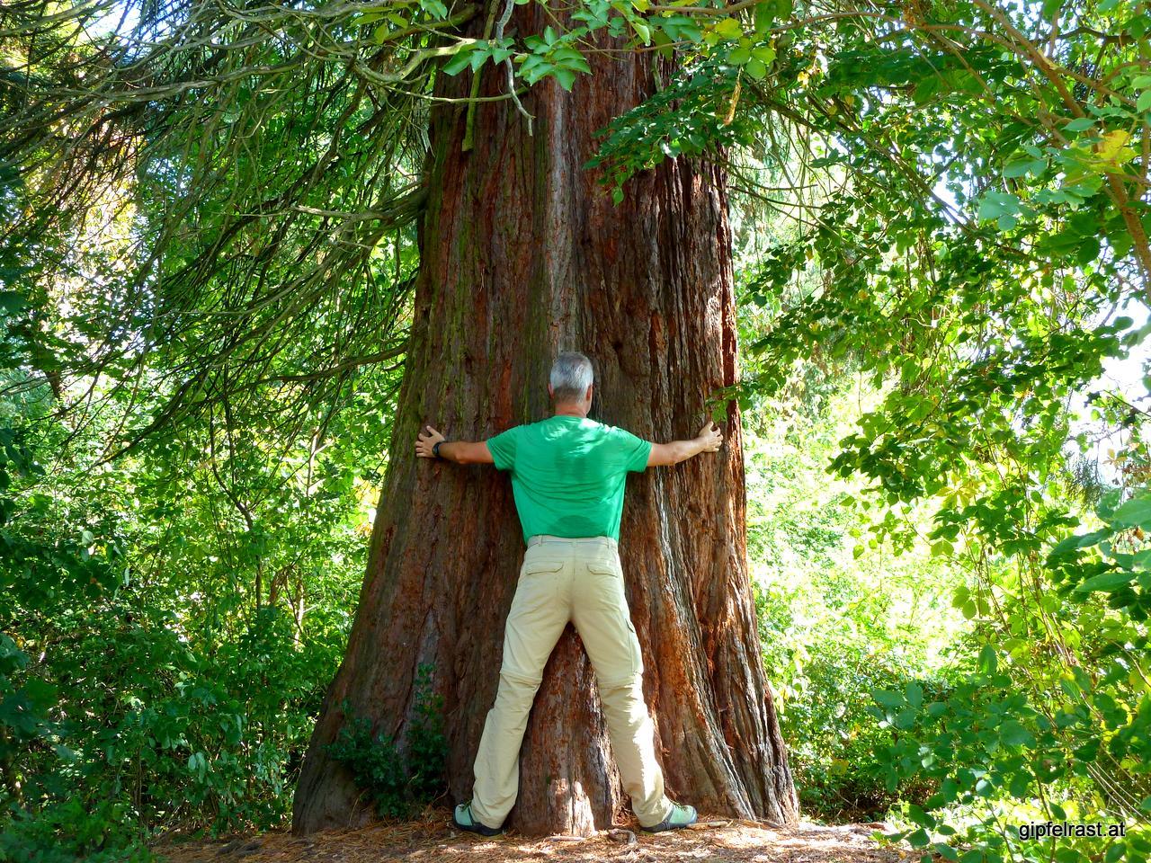 Drei bis vier Exemplare meinereiner bräuchte es wohl, um den Mammutbaum am Eingang des Grazer Urwalds zu umarmen.