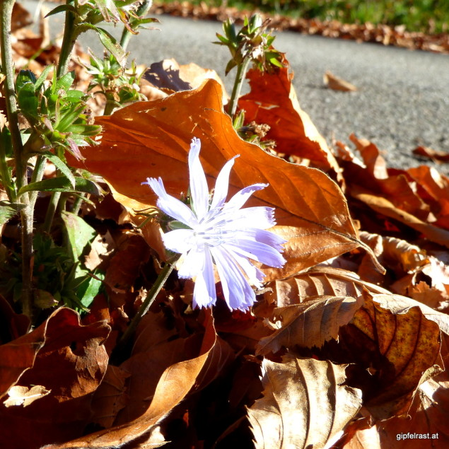 Ein Frühlingsbote kämpft sich durchs Herbstlaub