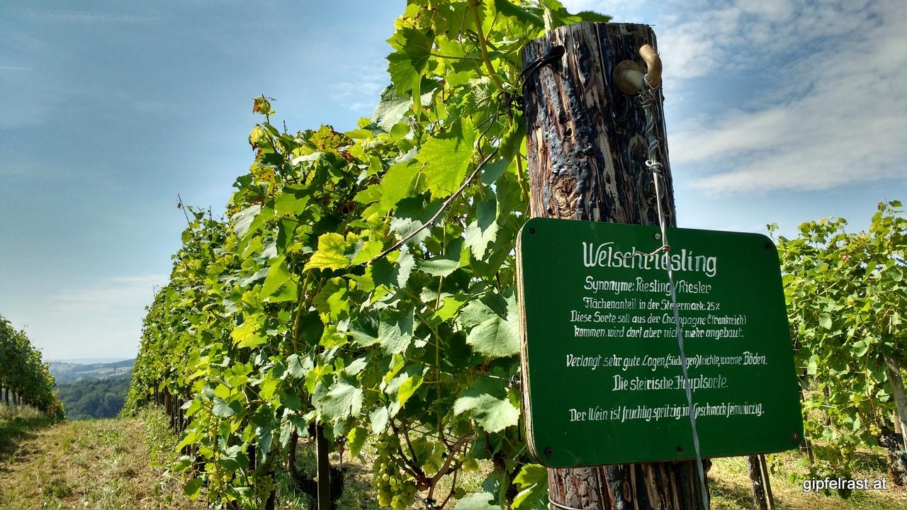 Hier wächst er, der steirische Wein